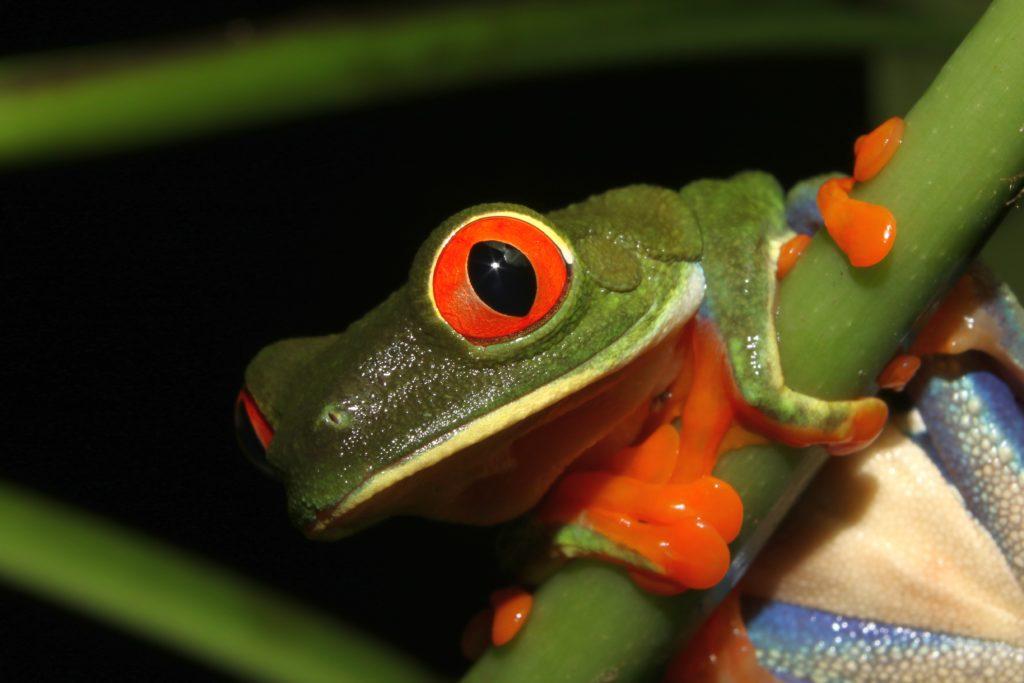 LatinA Tours Costa Rica Redeye Frog