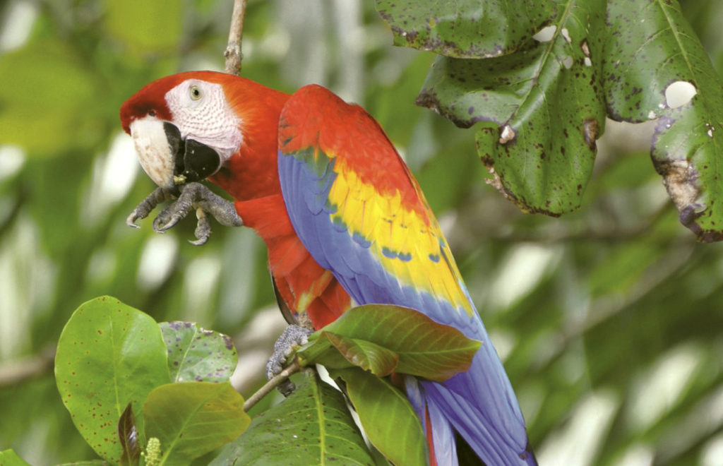 LatinA Tours Costa Rica Scarlet Macaw