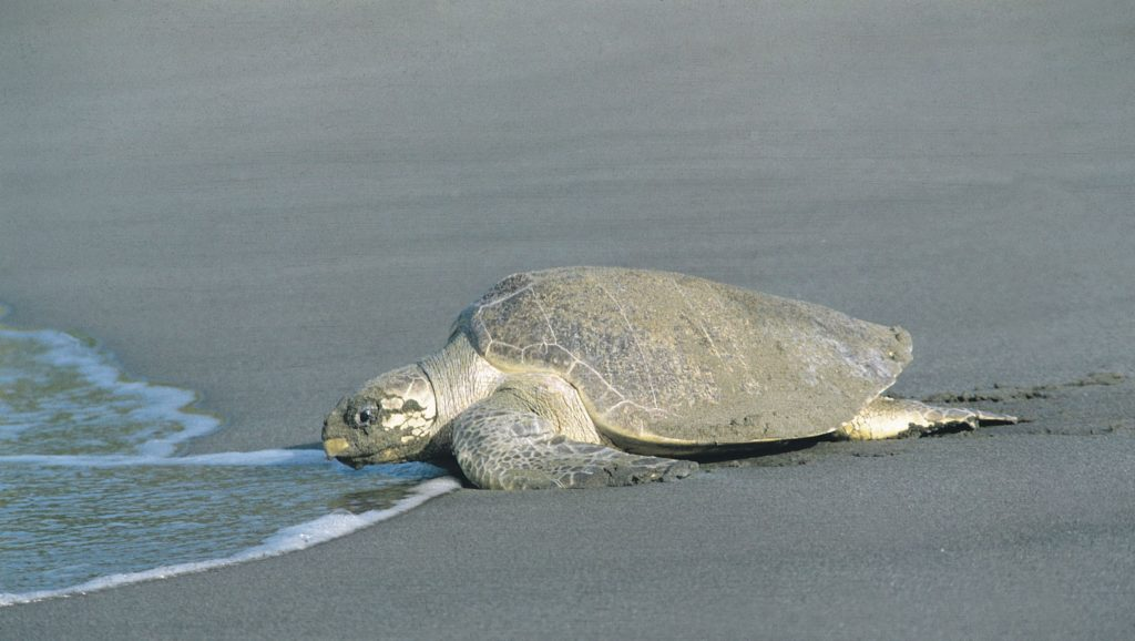 LatinA Tours Costa Rica Schildkröte am Strand