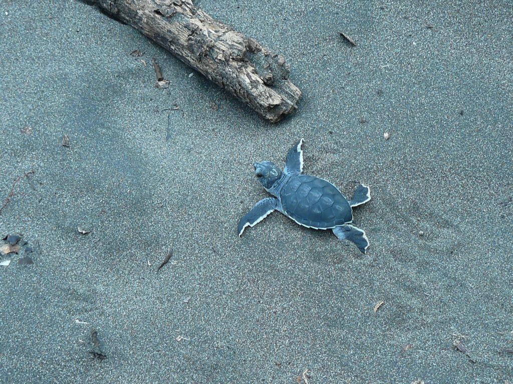 LatinA Tours Costa Rica Schildkröte auf dem Weg ins Meer