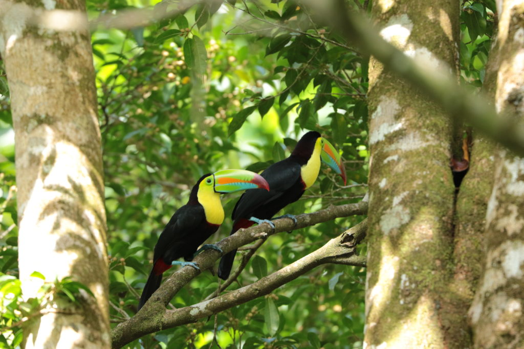 LatinA Tours Costa Rica Tirimbina Tukane