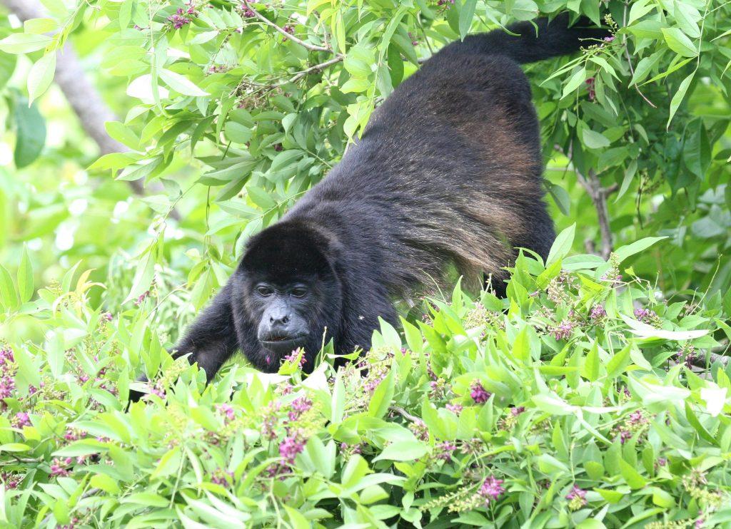 LatinA Tours Costa Rica Brüllaffe Howler Monkey