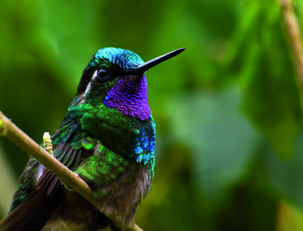 LatinA Tours Costa Rica Kolibri Monteverde Hummingbird