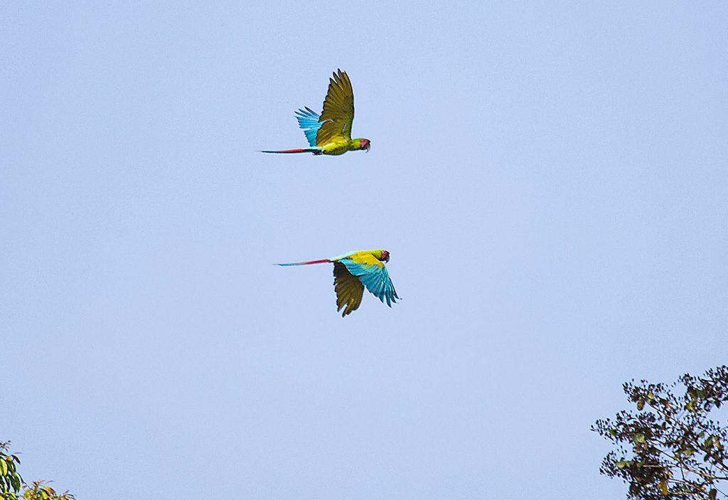 LatinA Tours Costa Rica La Quinta De Sarapiqui Green Macaw