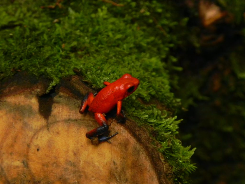 LatinA Tours Costa Rica Strawberry Poison-dart Frog