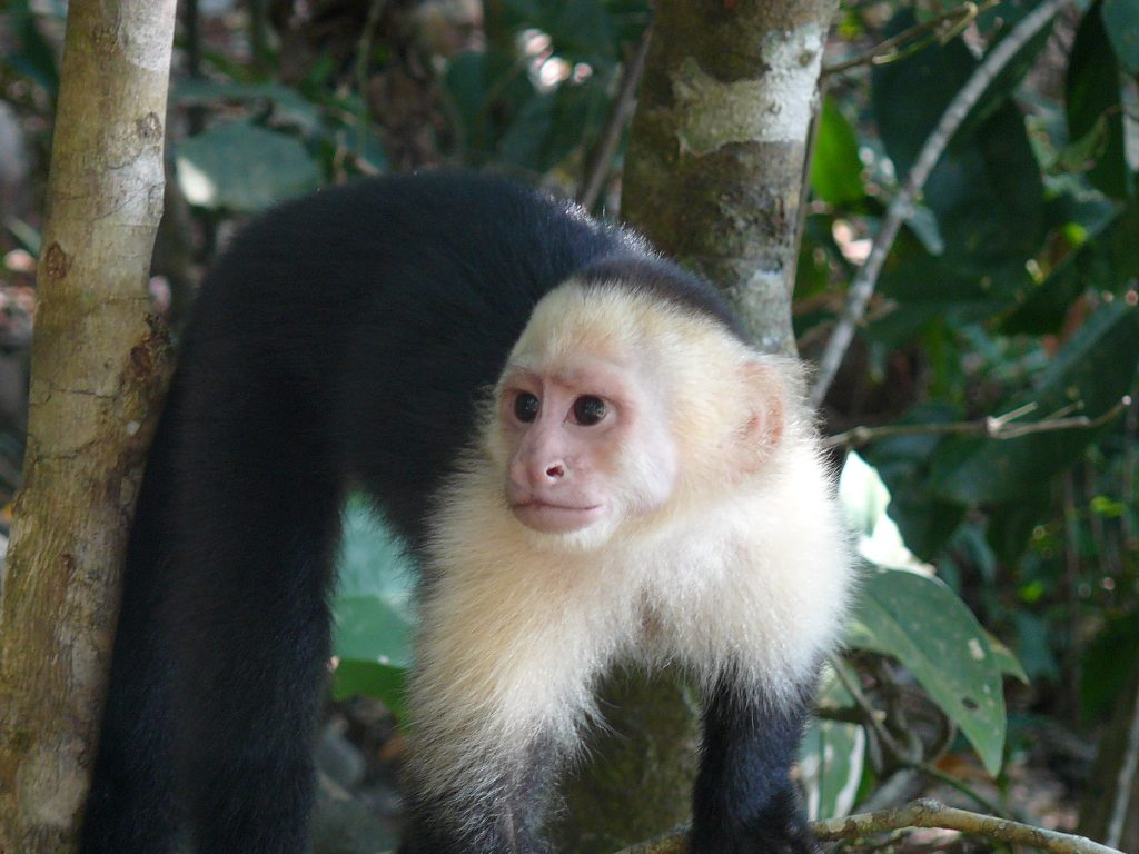 LatinA Tours Costa Rica Whitefaced Capuchin Monkey