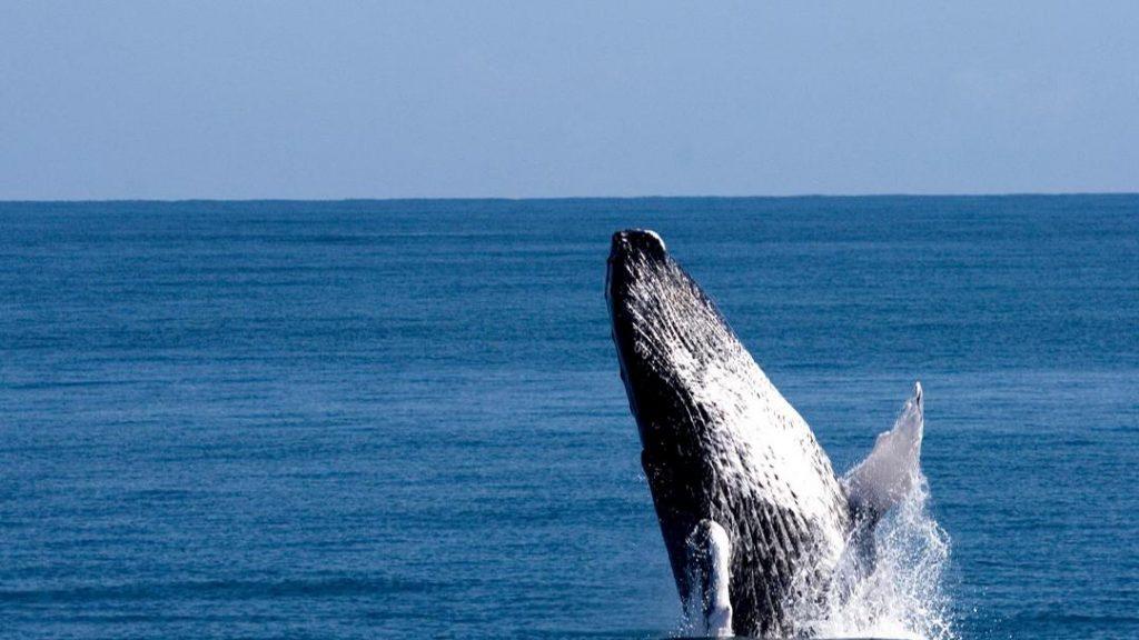 LatinA Tours Dominikanische Republik Buckelwale Bucht von Samana Ausflug