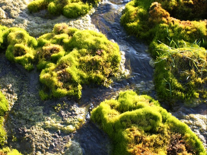Moss in wetland environment, Svalbard - Click to read about bryophytes in the Arctic environment