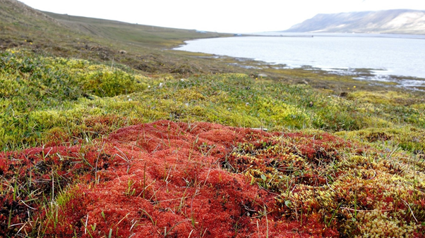 Picture of a minerotrophic fen in Adventdalen, Svalbard dominated by the moss species Bryum chryophyllum. By Lennart Nilsen.