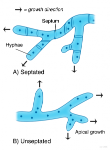 Figure illustrating the difference between septated and unseptated fungi hyphae and apical growth