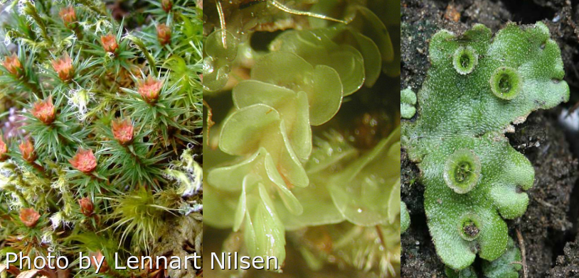 Pictures of bryophytes: moss (Polytricum juniperinum), leafy liverwort (Arnellia fennica), and thallose liverworts (Marchantia polymorpha). Pictures by Lennart Nilsen.