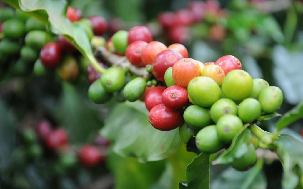 La pianta del caffè
