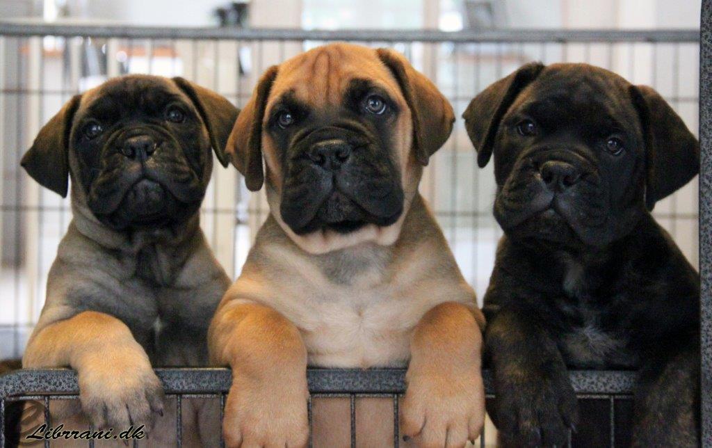 J-puppies (1+3)