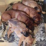 K-puppies (1+1)