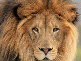 African Lion Eyes