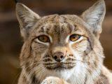 Bobcat Eyes