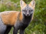 Cross Fox Eyes