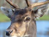 Fallow Deer Eyes