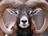 Mouflon Eyes