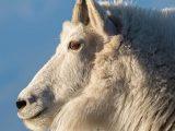 Mountain Goat Eyes
