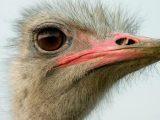 Ostrich Eyes