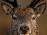 Red Stag Deer Eyes