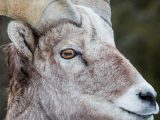 Sheep Eyes