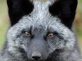 Silver Fox Eyes
