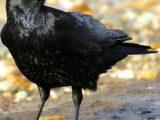 Crow (Corvus corone cornix)