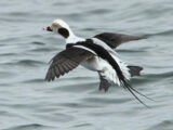 Long-tailed Duck (Clagula hyemalis)