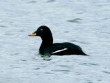 Velvet Duck (Melanitta fusca)