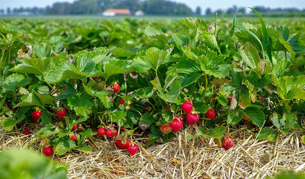 jordgubbsland