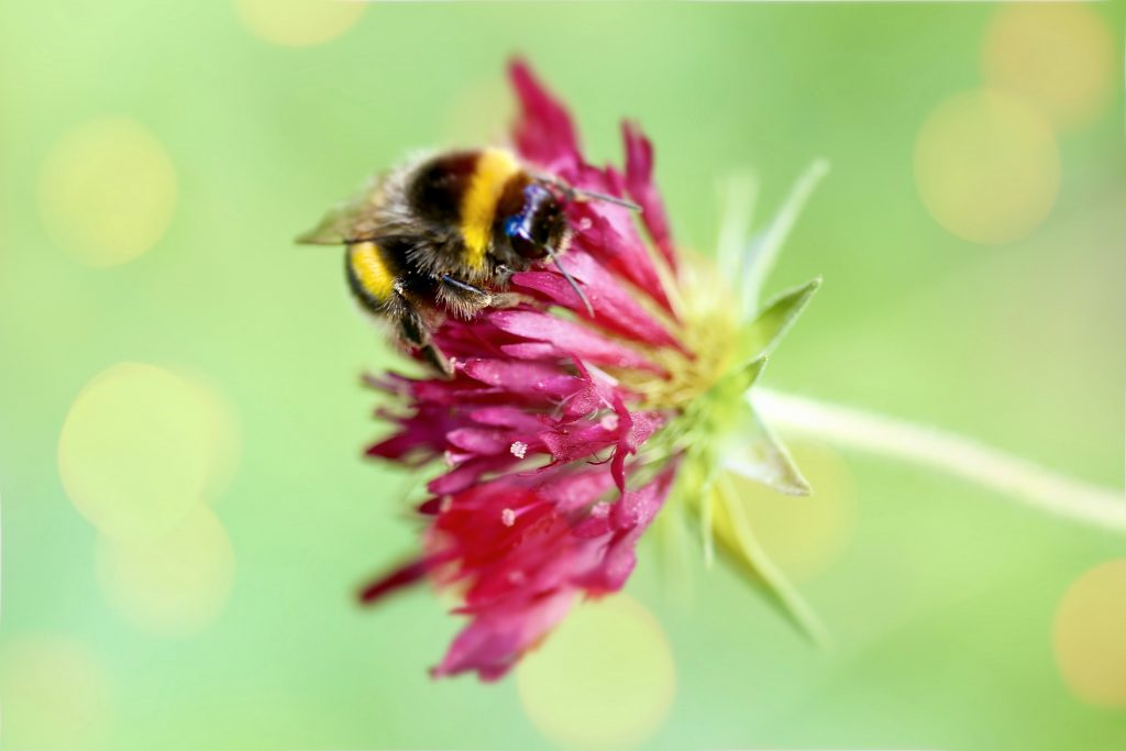 Bumblebee on Knautia macedonica var. Melton Pastels on www.limberea.com. Photo © Mihaela Limberea.