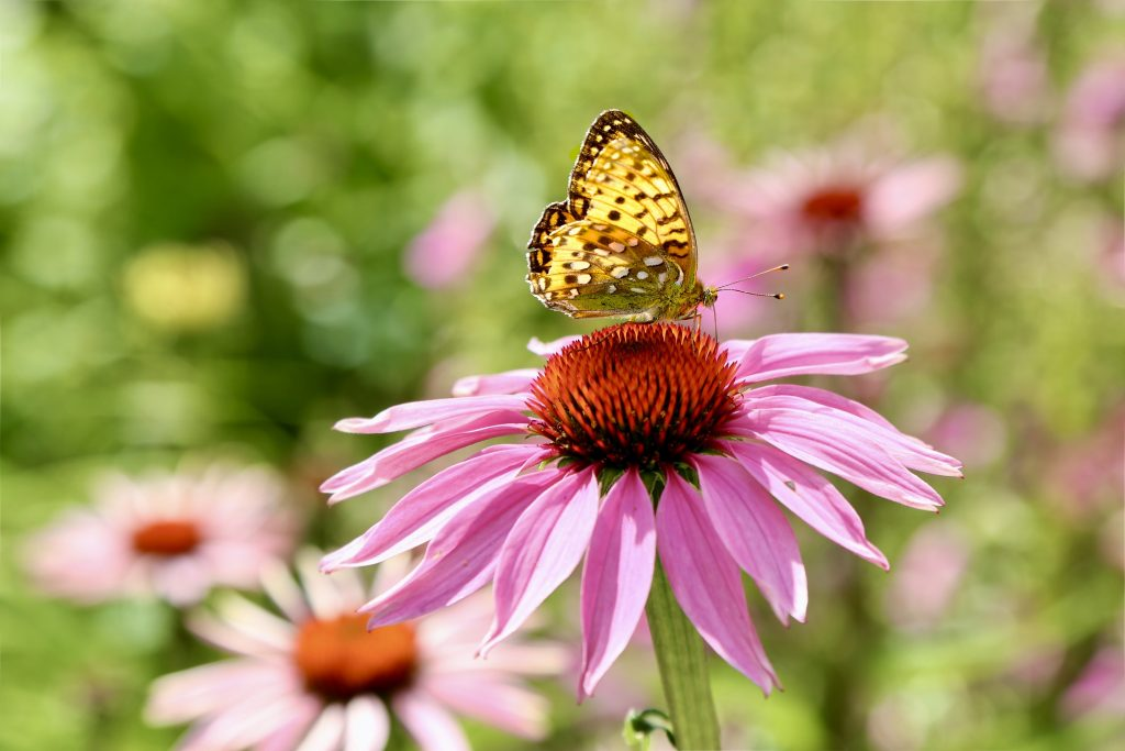 Painted lady butterfly (Cynthia cardui)on Echinacea purpurea var. Magnus on www.limberea.com. Photo © Mihaela Limberea.