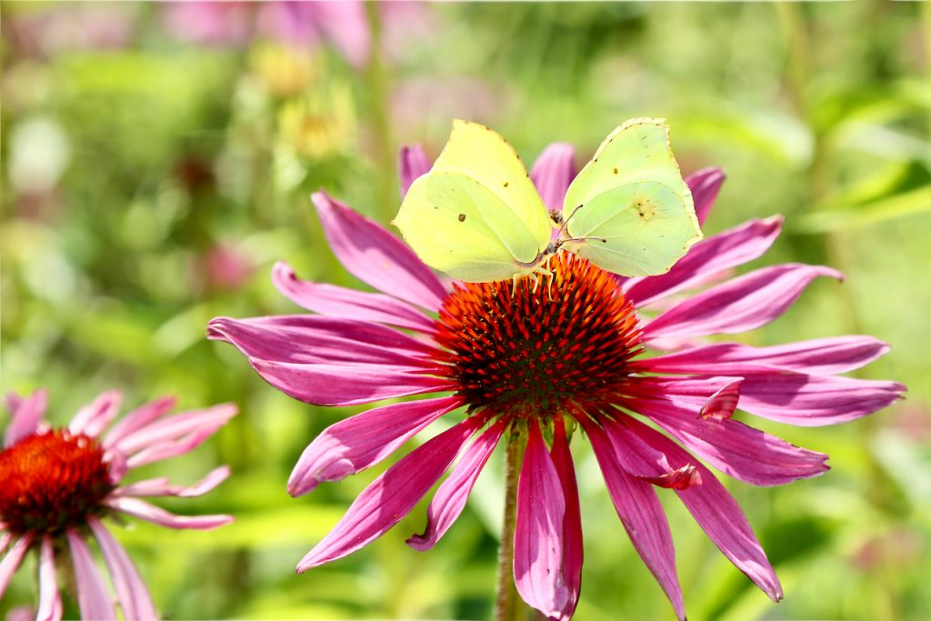Two brimstone butterflies (Gonepteryx rhamni) have a meeting on a pink echinacea flower.