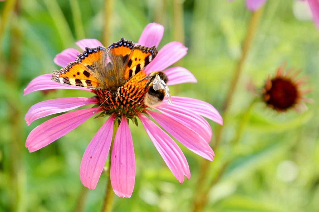 Tortoise-shell butterfly (Aglais urticae) and bumblebee competing for the same echinacea flower. www.limberea.com