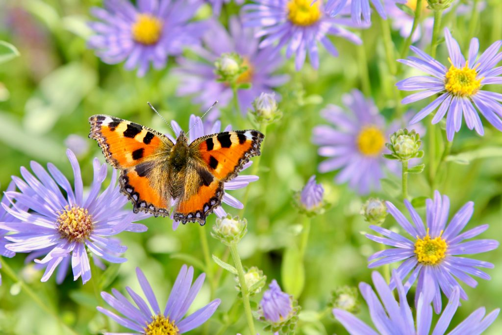 Tortoise-shell butterfly on aster (Aster amellus). www.limberea.com