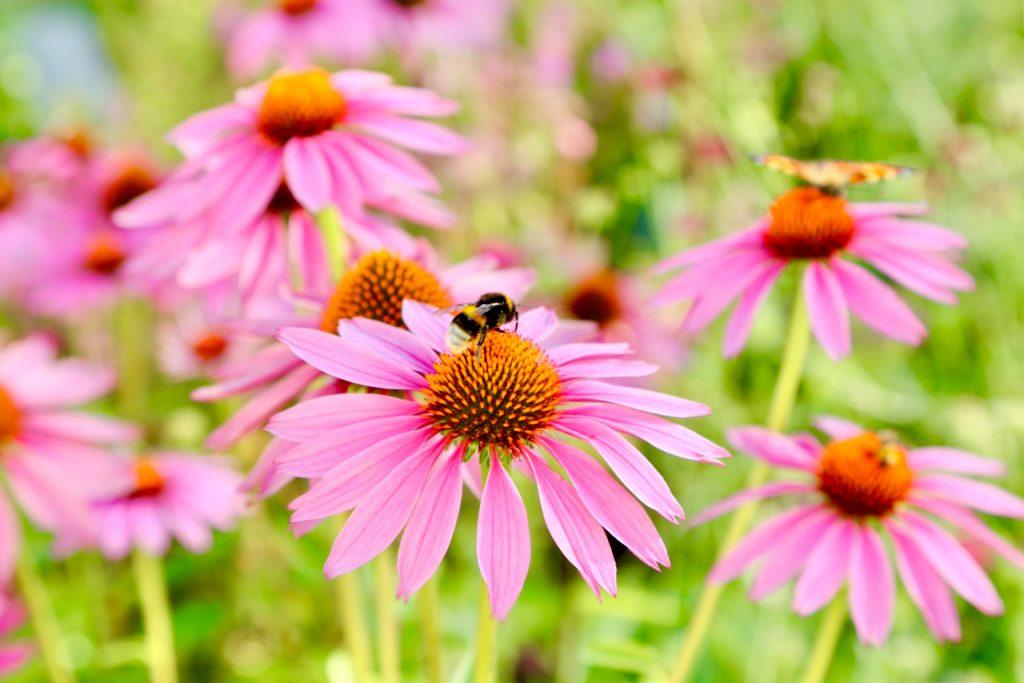 Bumblebee on echinacea (Echinacea purpurea var. Magnus). www.limberea.com