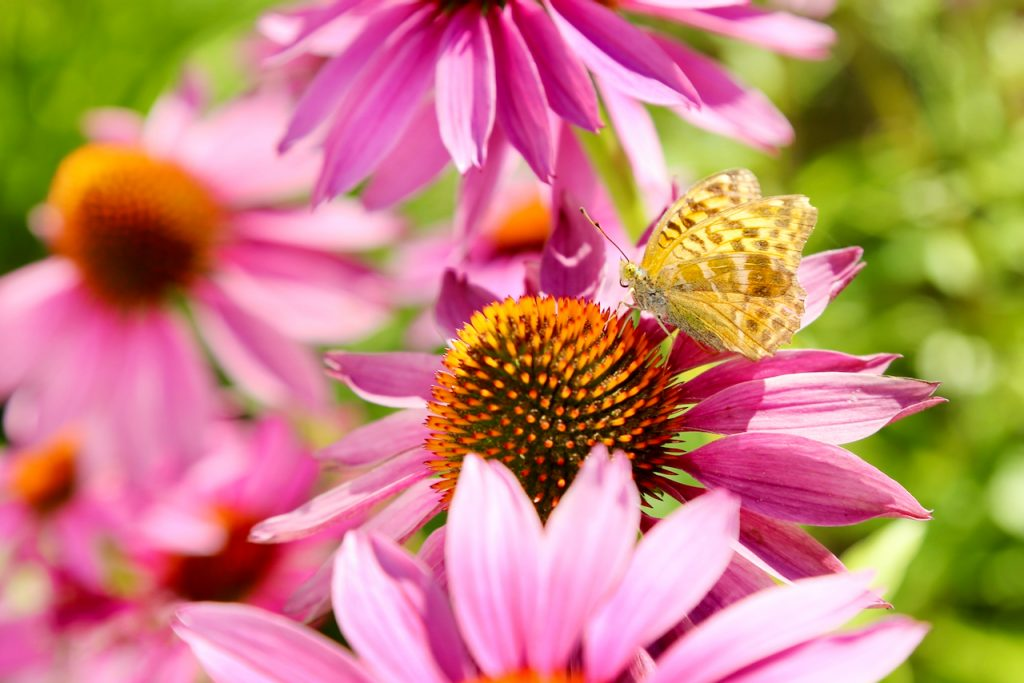 Painted lady butterfly in a sea of echinacea.