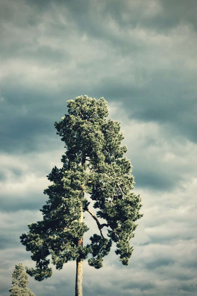 A pine tree top against a background of dark storm clouds.