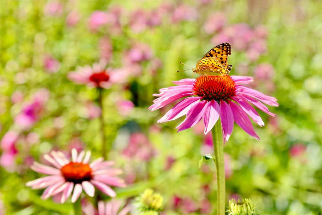 Painted lady butterfly (Cynthia cardui) on echinacea (Echinacea purpurea var. Magnus).