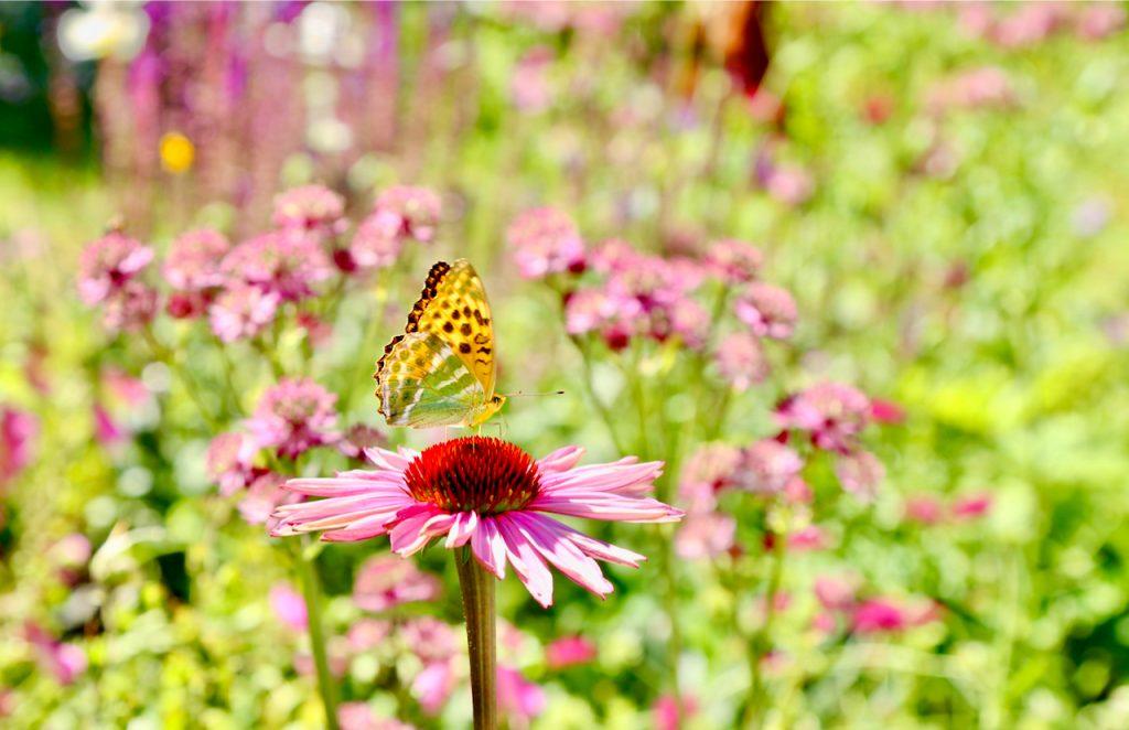Painted lady butterfly (Cynthia cardui) on echinacea (Echinacea purpurea var. Magnus). www.limberea.com