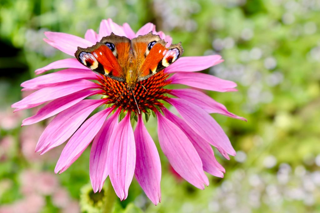 Peacock butterfly (Inachis io) on echinacea.