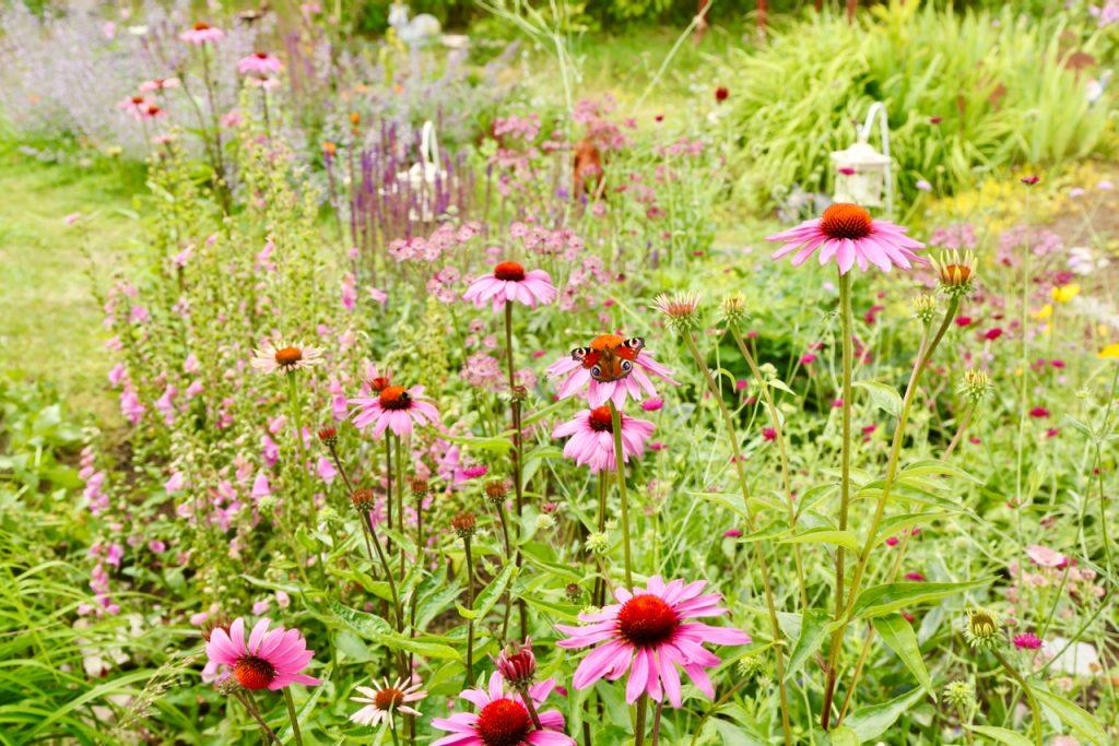 Summer garden with lots of echinacea (Echinacea purpurea var. Magnus). www.limberea.com