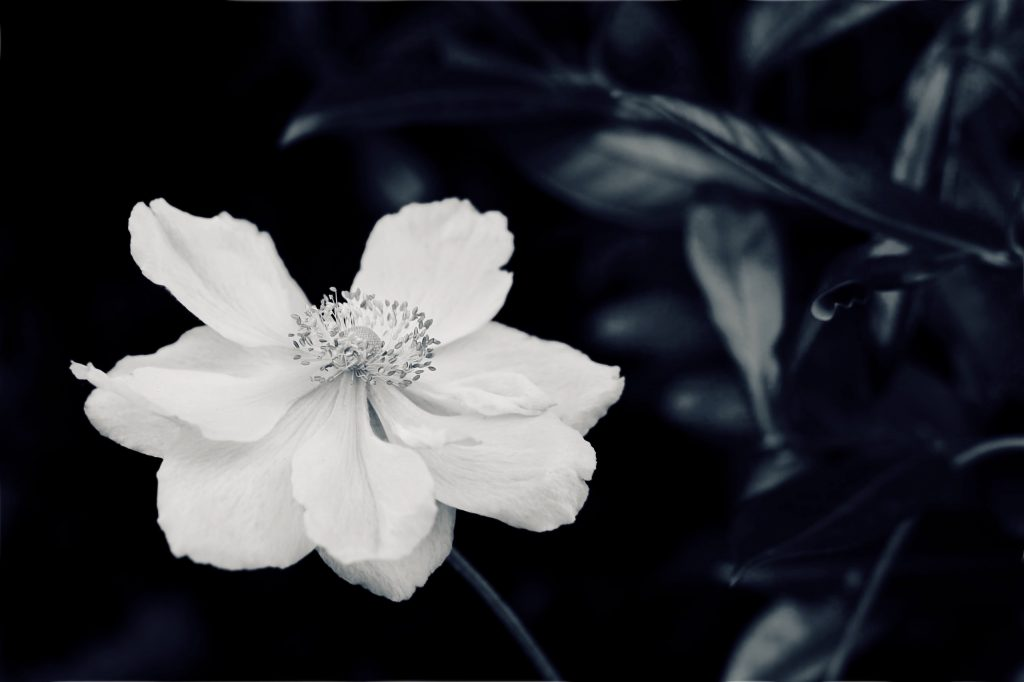 A close up of a Japanese anemone in black and white.