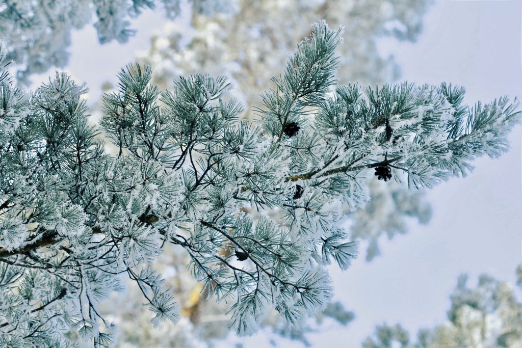 A pine tree branch covered in snow. Photo by Mihaela Limberea.