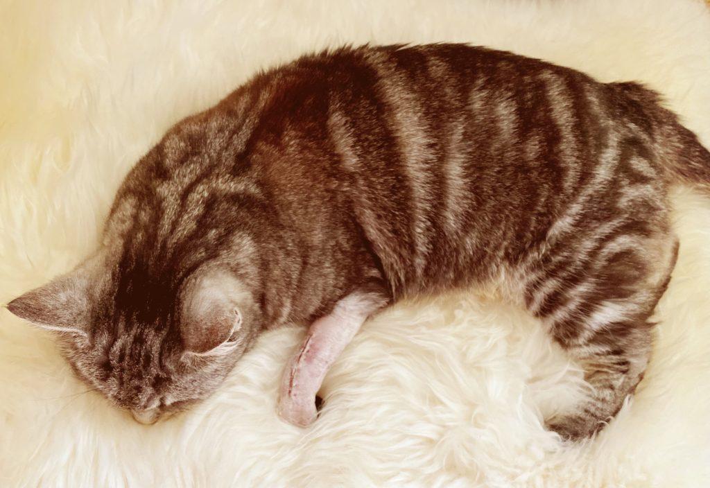 A sleeping tabby cat on sheep fur