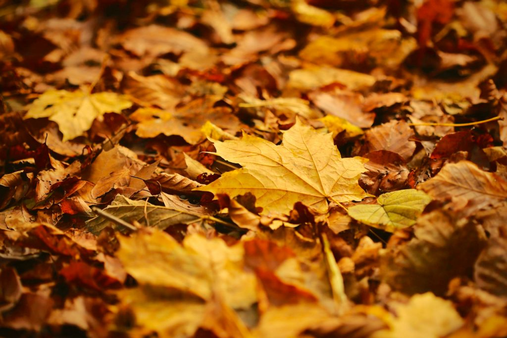 A close up of fallen autumn leaves, photo by Mihaela Limberea