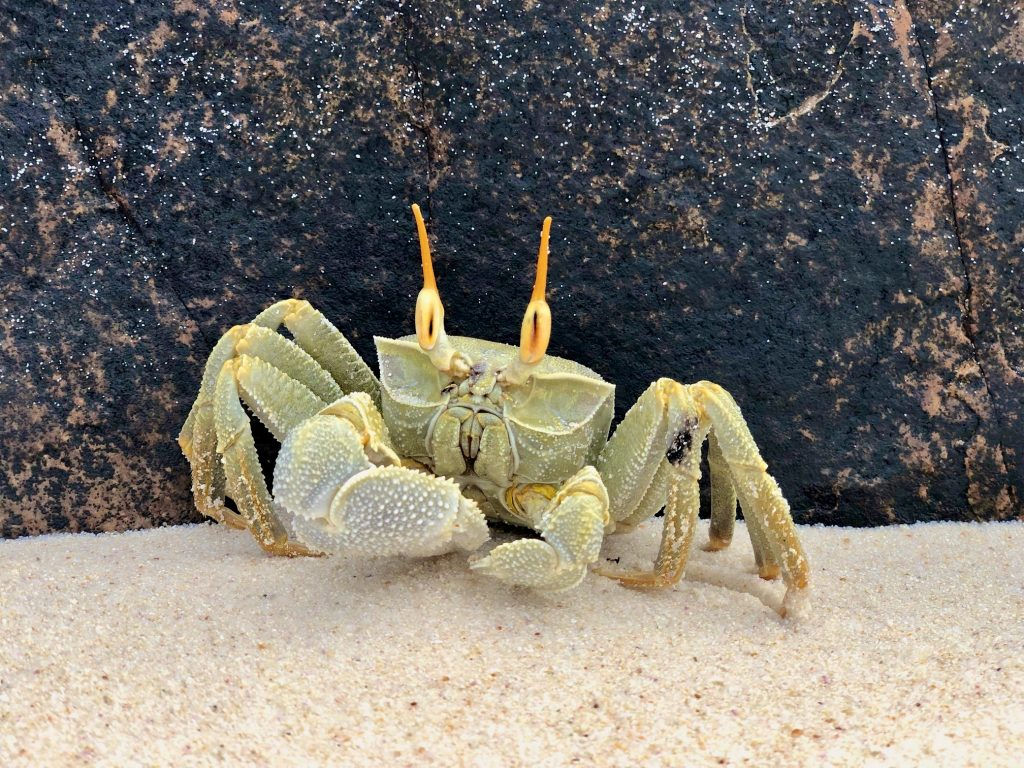Close up of a hornet ghost crab on the sand, Fregate Island. Photo by Mihaela Limberea.