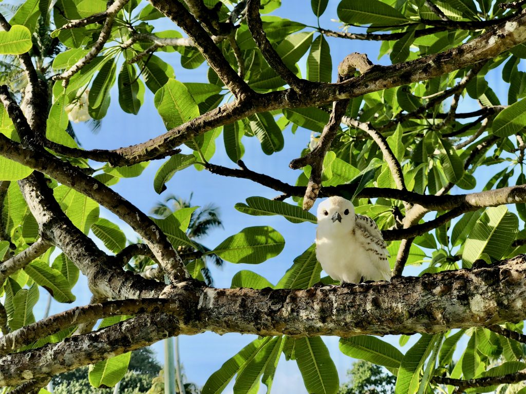 Fairy tern chick sitting on a tree branch on Fregate Island. Photo by Mihaela Limberea.
